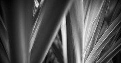 clinum lily leaves bw 0705 (DannyBurkPhotography) Tags: bw blackandwhite crinum lily leaves monochrome nokton 35mm f14 voigtlander
