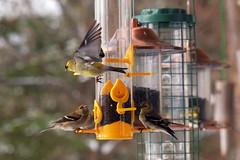 Bird feeder action (NaPix -- (Time out)) Tags: bird feeder nature flight snow spring canada fuji xt1 100400mm