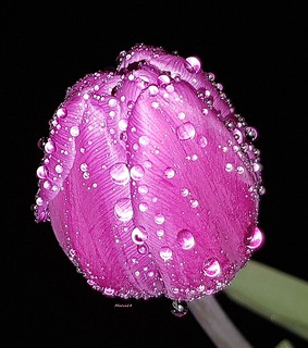 Humide tulipe