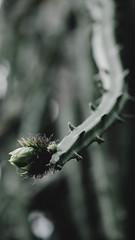 Vegetal entity (Ojo de Piedra) Tags: softlight nikon flora nature closeup d200 bokeh green thorns
