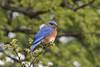 Eastern Bluebird (Sialia sialis) DDZ_9333 (NDomer73) Tags: 07april2018 april 2018 hagermannationalwildliferefuge hagermannwr hagerman bird thrush easternbluebird bluebird