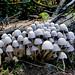 Coprinellus disseminatus (Fairy Bonnets)