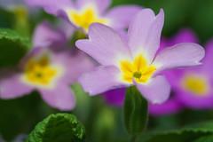 bulgarian weed (Uncle Tee TX) Tags: flash godox tt350s sony a7ii fe9028 macrog bulgaria sofia