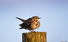 Meadow Pipit (stepinsidecolinr) Tags: moorland birds pipit dispaly northwales