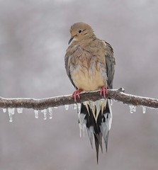 Curb Your Enthusiasm (Slow Turning) Tags: zenaidamacroura mourningdove bird perched tree branch stick wet ice icicles freezingrain raining storm weather spring southernontario canada 8174
