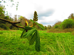 Horse Chestnut Leaves & Flower with Knocksedan Fields in the back ground 22-04-2018 (gallftree008) Tags: horsechestnut leavesflower with knocksedanfields inthebackground 22042018 swords rivervalley thewardriver jacko codublin ireland chestnut branch branches brackenstown county classic co clouds cloud dublin dub eire eireann effect greenery green irish irishwildlife jackopark knocksedan leaves leaf landmark linear mill nature naturesbeauties naturescreations old park river tree trees the underthetrees vanishing vanishingpoints water ward wildlife amazingnature april thejackopark thebestofbeautifulearth thejackolinearpark