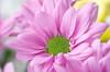 Chrysanthemum (Daniel Escudero de Félix) Tags: chrysanthemum crisantemo macrophotography flor flower flores flowers spring nature naturaleza closeup ef100mm 100mm handheld manualfocus macro bokeh macrofotografia affinity ef100 ef100macrol macrol eos50d 50d