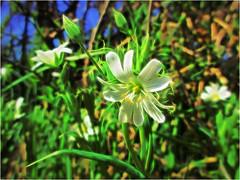 Stitchwort Sliding HSS! (Julie (thanks for 8 million views)) Tags: topazglow postprocessed greaterstitchwort flower 100flowers2018 wildflowers wexford ireland irish canonixus170 lowpov sliderssunday hss nature beautiful flora bokeh dof