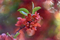 Chaenomeles / Flowering quince / Pigwowiec (agnieszka.a.morawska) Tags: helios44m helios april wiosna spring garden pigwowiec beyondbokeh bokehlicious bkhq bokeh flower