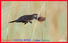 (World Species #1237a) The Endangered ZAPATA WREN - [ Zapata National Park, Cuban Endemic ] (tinyfishy's World Birds-In-Flight) Tags: zapata wren endangered cuba endemic