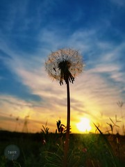 Some see a weed Some see a wish (tahir.121) Tags: sunset nature macro outdoor dandelion summer spring flower mobilephotograhy pakistan hdr