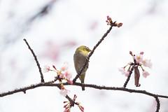 _3188223.jpg (plasticskin2001) Tags: mejiro sakura bird flower