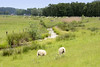 DSC_9610 Schafe auf der Wiese am Sommerdeich bei der Hetlinger Schanze - Entwässerungsgraben am Uferrand mit Schilf bewachsen. (stadt + land) Tags: schafe wiese sommerdeich entwässerungsgraben uferrand schilf hetlingen hetlinger schanze gemeinde kreis pinneberg hasedorfer marsch naturschutzgebiet schleswigholstein elbvorland bilder sehenswürdigkeiten naherholung naturschutz fotos metropolregion hamburg