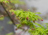 Green Lace. (Omygodtom) Tags: tamron texture tamron90mm d7100 dof macro bokeh maple red green ngc usps