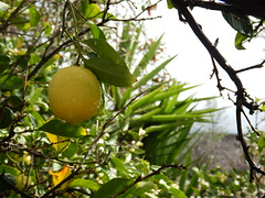 IMG_2538 (BryanCoxArt.com) Tags: citrus tree