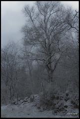 20180319_Sous la Neige_2 (Clapiotte_Astro) Tags: hiver tamron1750mm canon700d tree arbres neige snow vendée treizevents