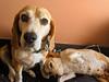 I need your doggie advice... (Chi Tranter) Tags: dog beagle rescue shelter dogs doggies pets snuggle