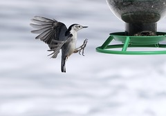 Reaching (Diane Marshman) Tags: whitebreastednuthatch nuthatch white chest breast gray wings tail feathers black reaching flying inflight bird feeder winter northeast pa pennsylvania nature wildlife