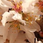 Almond flowers thumbnail