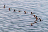 Spring Geese (langdon10) Tags: bird canada canadageese canon70d inflight quebec stlawrenceriver outdoors overwater