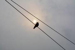 Il corvo e il sole - The crow and the sun. (sinetempore) Tags: ilcorvoeilsole thecrowandthesun uccello bird sole sun nuvole clouds filo wire becco beak animale animal