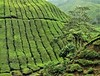 tea plantation (5) (SM Tham) Tags: asia southeastasia malaysia pahang cameronhighlands sungaipalas boh tea estate plantation trees shrubs bushes plants green landscape mountain slope rows pattern