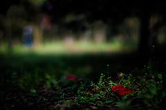 but beautiful (N.sino) Tags: xt1 nokton50mmf11 camellia fallenflower weed 椿 オフィーリア 落花 雑草 神代植物公園