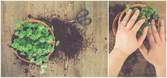 ~To plant a garden is to believe in tomorrow. (Fire Fighter's Wife) Tags: plant oregano planting hands ring scissors soil wood table tabletop diptych hazy haze soft light dreamy garden herb pots dirt dirty fingers spring stilllife softcolors softhues softhaze faded fadedcolors fadedhues retroprocessing retro vintagestilllife vintageprocessing vintage matte muted mutedcolors mutedhues mutedshadows selfie green