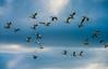 DSC09492 (www.mikereidphotography.com) Tags: skagit snowgeese zeiss birds