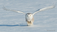 No chance of survival (Earl Reinink) Tags: owl spring winter snow cold bird animal predator snowyowl earl reinink earlreinink flight nature photography niagara talons reudhaudza