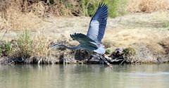 Flyby -- Great Blue Heron (Ardea herodias); Tucson, AZ, Christopher Columbus Park [Lou Feltz] (deserttoad) Tags: nature park water lake bird wildbird wader heron reflection flight refuge arizona