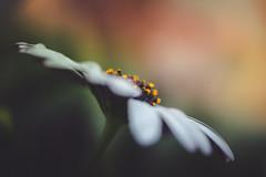 Open your mind (der_peste (on/off)) Tags: flower bokeh macro proxy stamps blur spring capedaisy kapkörbchen blume matte bokehlicious flowerstamps sonya7ii sel90m28g