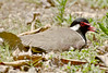 A red-wattled lapwing (Snappy Lens) Tags: lapwing wildife nature birds