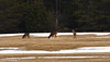 Psst!  I think we're being watched!... Oh deer, oh deer, oh deer.... (Trevdog67) Tags: deer ohdeer ohdear playonwords pun rebus ohdeerohdeerohdeer ohdearohdearohdear wildlife game country rural moncton newbrunswick nouveaubrunswick nb411 explorenb nikon d7500 sigma 150600mm nature canada spring grazing ithinkwerebeingwatched pssst