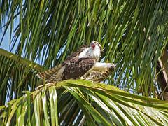 Osprey (Everglades NP) (stinkenroboter) Tags: osprey pandionhaliaetus flamingo evergladesnationalpark florida