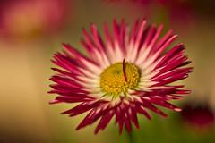 Daisy (pstenzel71) Tags: blumen natur pflanzen samyang100mm28macro gänseblümchen daisy bellisperennis darktable bokeh flower samsungnx spring