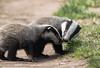 9Q6A9497 (2) (Alinbidford) Tags: alancurtis alinbidford badgercubs brandonmarsh nature wildlife