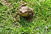It's Mr. Toad (Deida 1) Tags: commontoad garden uk staffordshire bufobufo amphibian wildlife