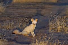African Pale Fox, Renard pâle (Vulpes pallida) - Réserve de Faune de Ouadi Rimé et Ouadi Achim (RFOROA), CHAD (brun@x - Africa: birds & more) Tags: 2018 bruno portier brunoportier tchad chad african pale fox renard pâle vulpes pallida africanpalefox renardpâle vulpespallida africansandfox renarddessables renardblonddessables carnivora carnivores canidae canidés oudi rimé ouadi achim oudirimé ouadiachim rforoa ouadirimé