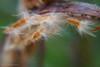 Oleander zaad - HMM (♥ Annieta ) Tags: annieta april 2018 sony a6000 nederland netherlands krimpenerwaard zuidholland plant oleander zaad seed macro tuin garden jardin allrightsreserved usingthispicturewithoutpermissionisillegal