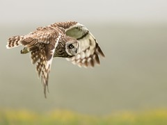 Pueo In Flight (Tom Yessis) Tags: owl bird birdsofprey raptors pueo shortearedowl flight canon canonphotography clouds country wildlife endemic native nature animal landscape hawaii bigislad birds canon400mmf56