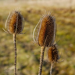 Photo of Teasel