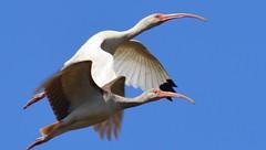a lmn ibis DSC_0056 (eustatic) Tags: basa wildlife grn lmn