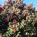 Spring pretty much explodes into pink flowers, camellias, almost cabbages, blue sky, Lakota Lhamo Ling, Dash Point Road, Washington, USA
