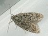 Semioscopis strigulana (Cossus) Tags: 2010 depressariidae depressariinae elachistidae semioscopis пестово