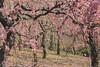 城南宮|京都 (KaguraYanki) Tags: canon650d 梅花 梅 梅花雨 枝垂梅 しだれ梅 椿まつり 源氏物語 花見 花之庭 photography