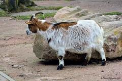 Westafrikanische Bergziege (patric.gangler) Tags: westafrikanischebergziege tierfotografie animalsphotography ziege saarbrückerzoo nikonfotografie nikonphotography nikonphotographers 1nikkorvr30110mmf3856 nikon1j3