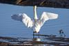 Mute Swan (Dougie Edmond) Tags: monkton scotland unitedkingdom gb bird beach water birds nature wildlife springtime spring canon