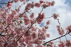 IMG_6464 (Bob90901) Tags: sakura sky portland maine cherryblossom clouds flowers blossoms afternoon rpg90901 canon 6d canonef70200mmf28lisiiusm canon70200f28lll 2017 april 1321