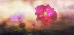 Cosmos dream (mamietherese1) Tags: coth coth5 magicunicornverybest netartii artdigital exoticimage crazygeniuses floralessence world100f fleursetpaysages fabuleuse saariysqualitypictures